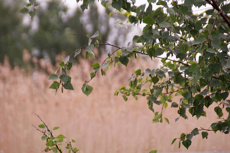 pretty green birch branches in summer