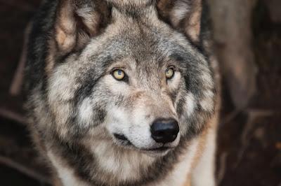 serigala setia terhadap pasangannya