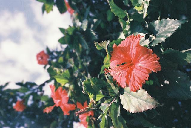 hibiskus-naturalny-botoks