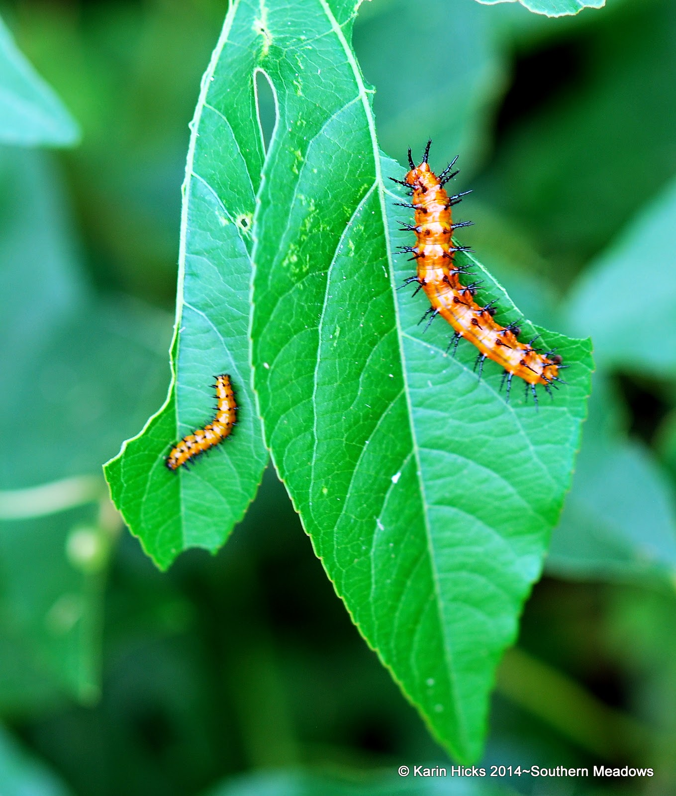 two instars of gulf fritillary caterpillars