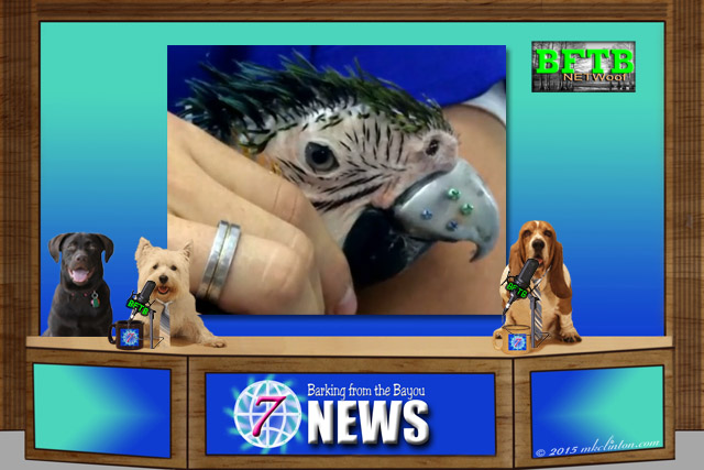 BFTB NETWoof News desk with macaw's 3D beak in background