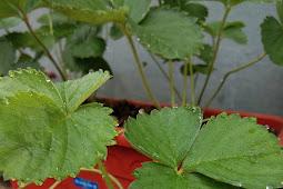 Cara Merawat Tanaman Strawberry di Dataran Rendah Terbaru