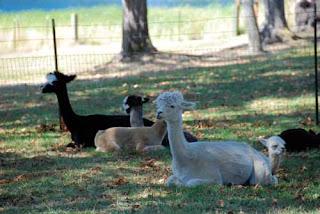Krystal Acres Alpaca Farm San Juan Island Washington
