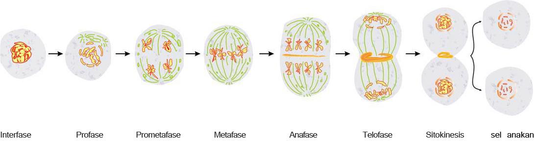 tahap-tahap pembelahan mitosis