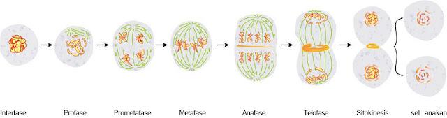 Perhatikan gambar pembelahan mitosis berikut ini: Urutan ...