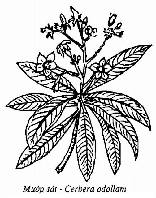Hình vẽ Mướp Sát - Cerbera odollam - Nguyên liệu làm thuốc Chữa bệnh Tim
