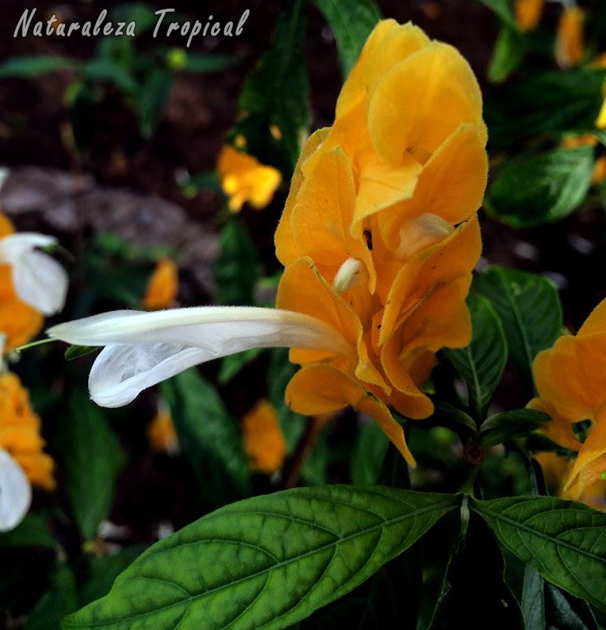 Otra fotografía de la inflorescencia de la planta Colita de Camarón o Choclo de Oro, Pachystachys lutea