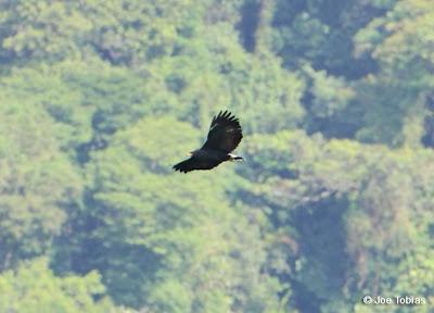 Águila solitaria Buteogallus solitarius
