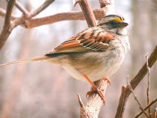 a native white throated sparrow