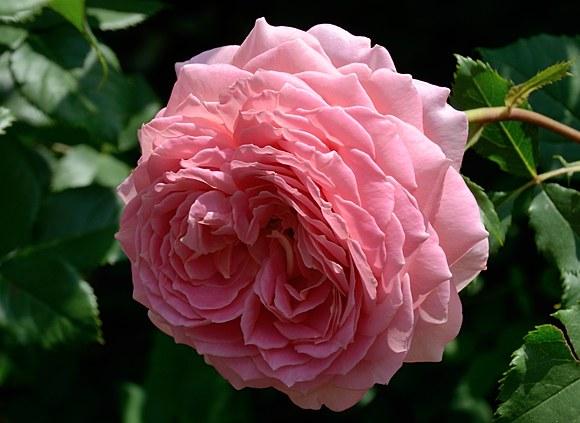 Jubilee Celebration сорт розы фото питомник