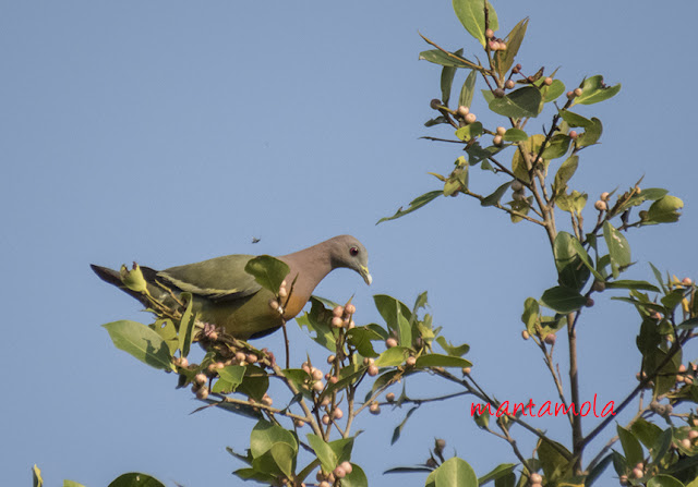 Pink Neck Green Pigeon