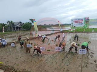 Abdya Lakukan Penangkaran Benih Padi Unggul 70 Hektar