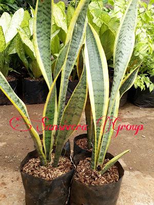 Tanaman Indoor Sansevieria
