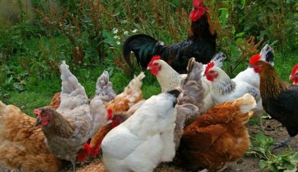Kuroiler/Noiler/Poultry Chicken Birds Farming/ Business Plans