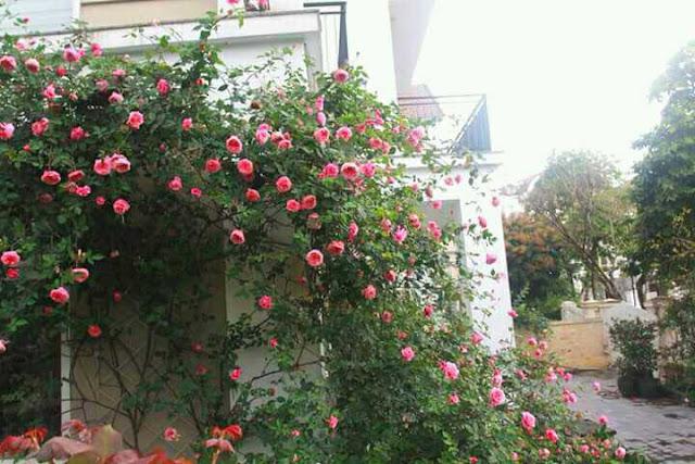 cây hoa hồng công trình hồng cổ sapa