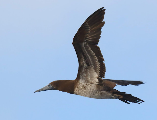 Immature Brown Booby