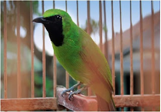 Cucak Ijo,burung cucak hijau,Tip Cara Menjinakkan Burung Cucak Hijau