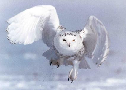 A coruja branca