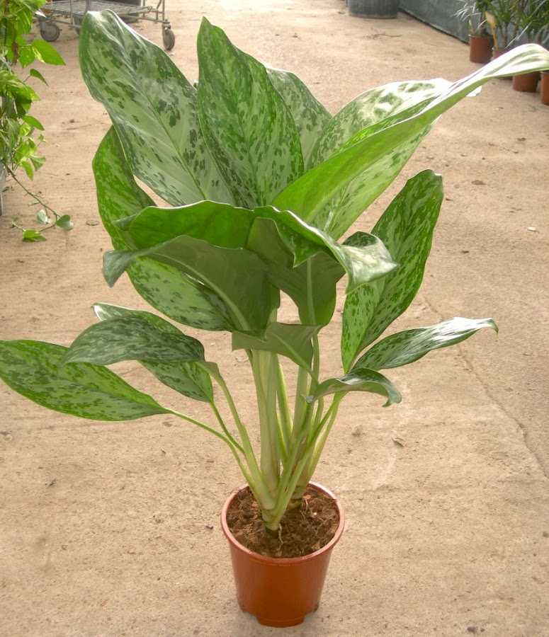 Viveros vangarden aglaonema de hojas grandes - Plantas interior grandes ...