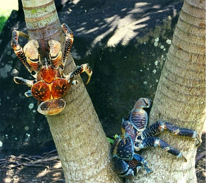 An orange and a blue coconut crab