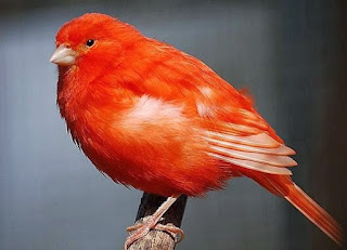 Ternak-Kenari-Merah
