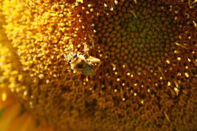 معلومات-عن-النحل