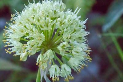 [Amaryllidaceae] Allium victoralis – Alpine Leek (Aglio serpentino)