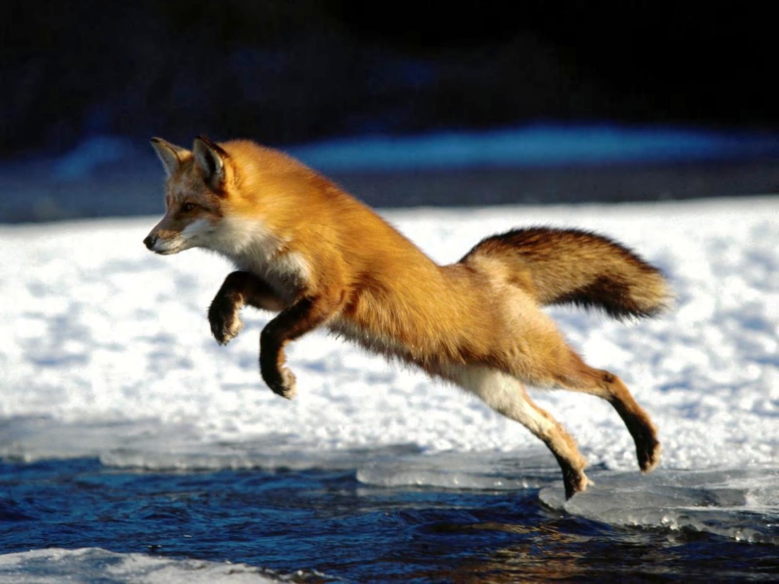 Pets world fox pictures - Fox desktop background ...
