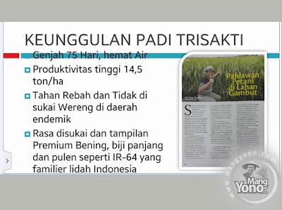 Padi TRISAKTI Pahlawan petani di lahan Gambut .  Foto by Prof. Ali Zum Mashar