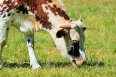 Jenis dan Contoh Pakan Hijauan untuk Ternak Sapi, Domba, Kambing dan lainnya.