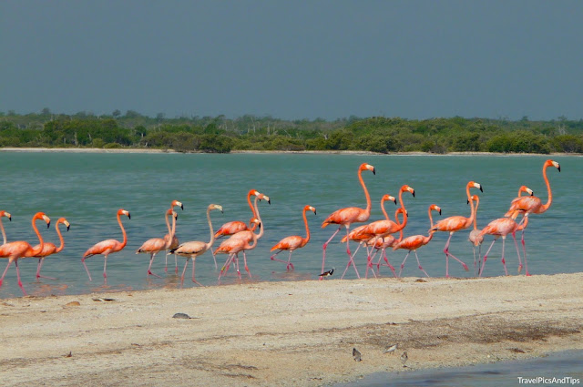 Flamants roses de la réserve naturelle de Rio Lagartos au Mexique