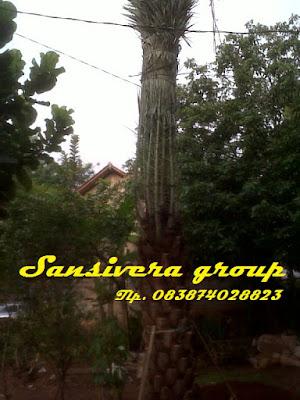 pohon-kurma-nazwa