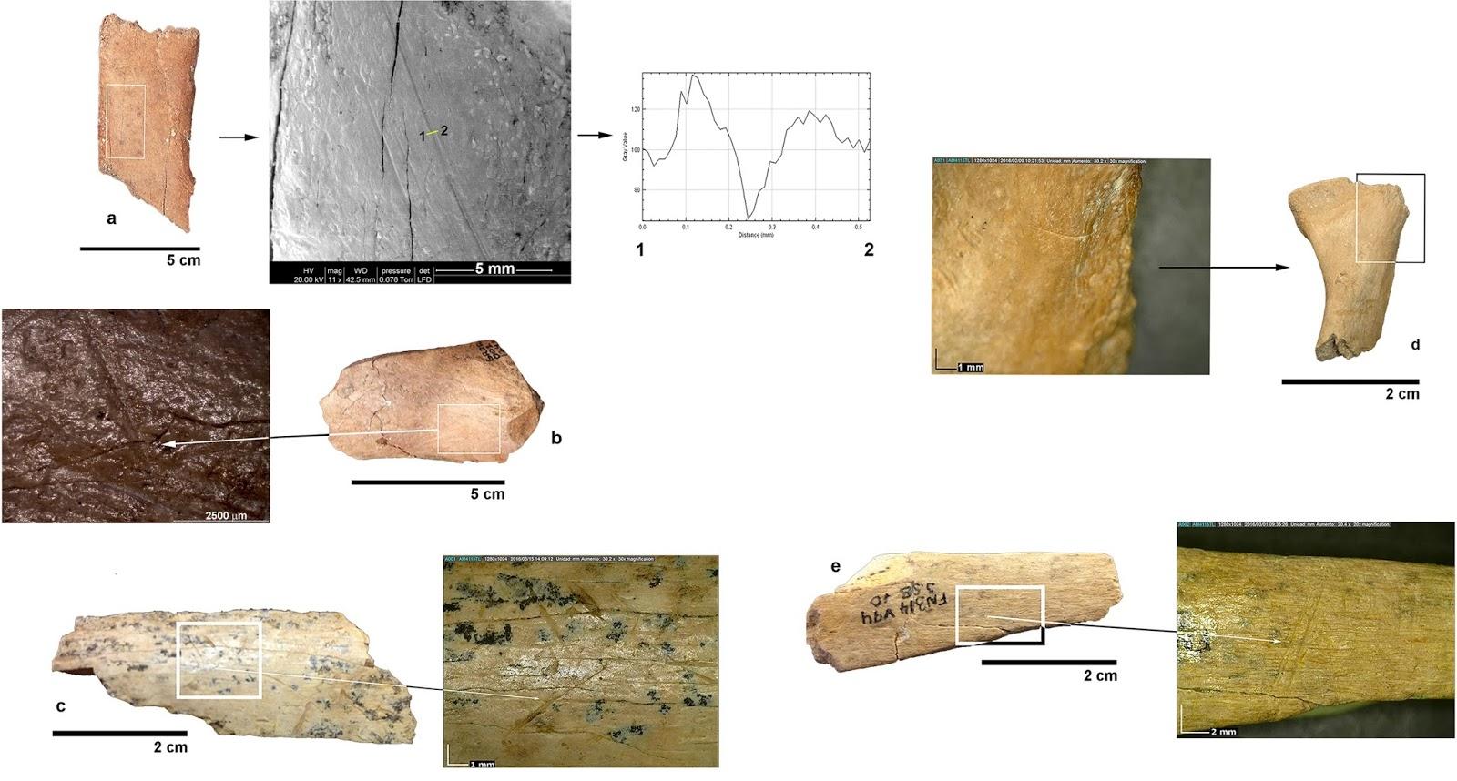 Fragmentos de hueso con marcas de corte de hace 1,4 millones de años, yacimientos de Orce (Granada). Foto: Espigares et alii.
