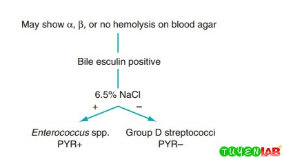 Schematic diagram for the differentiation of group D streptococci from Enterococcus.