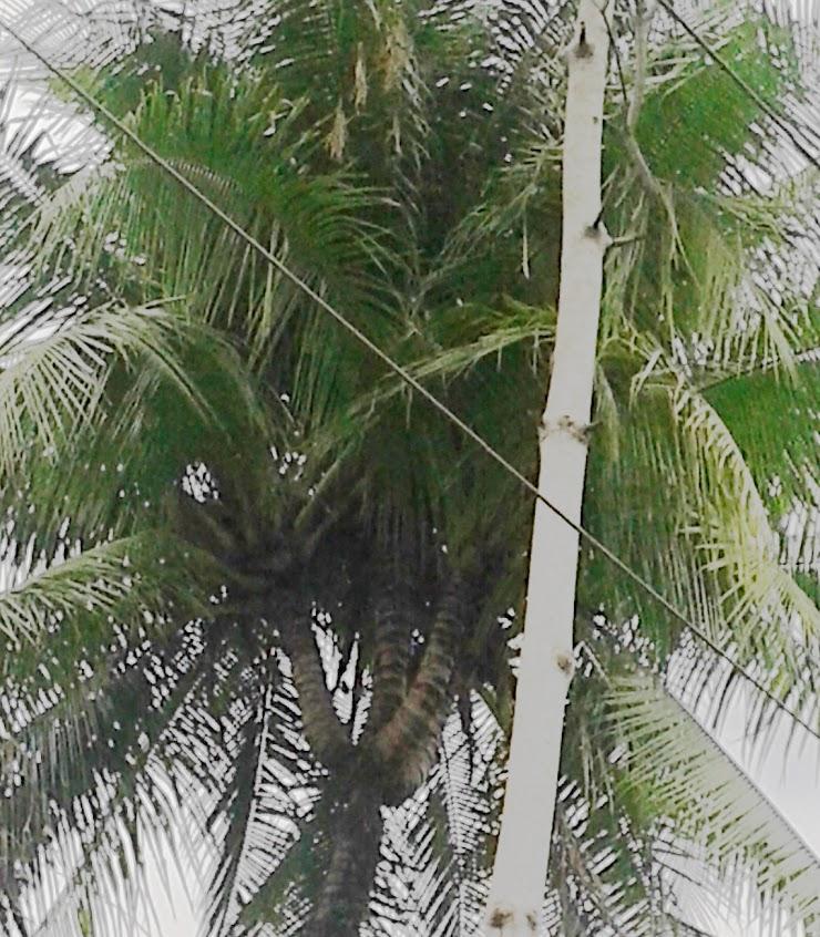 Pohon kelapa bercabang empat