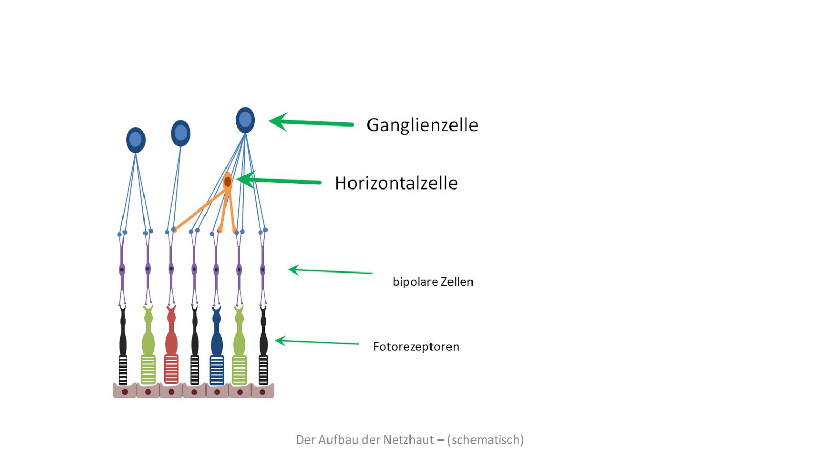 Amakrinzellen
