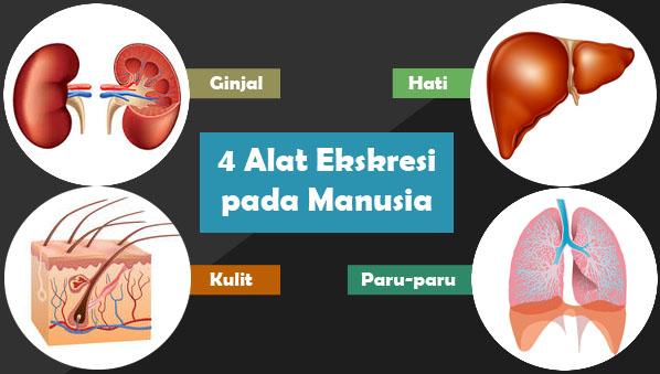 4 Alat Ekskresi Pada Manusia