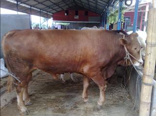 Penggemukan Sapi Termasuk Usaha budidaya ternak sapi yang menguntungkan Kabar Terbaru- CARA PENGGEMUKAN SAPI LIMOSIN