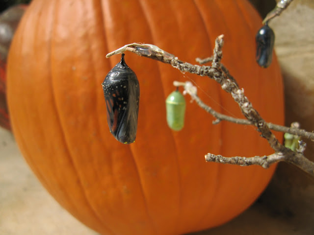 Monarchs and Pumpkins