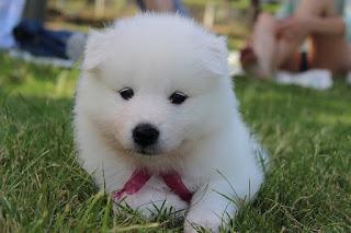 Jenis Anjing Samoyed