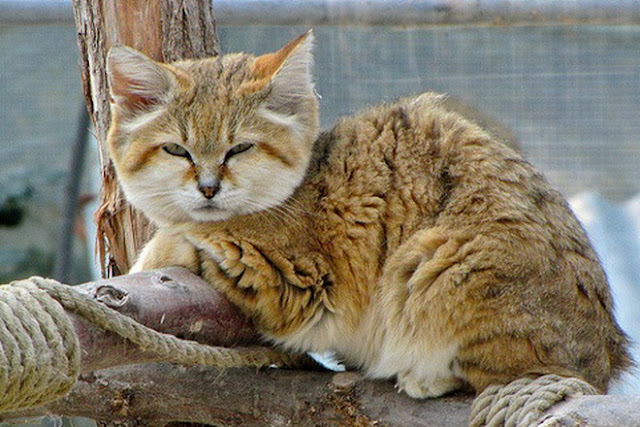 arabian sand cat as pets