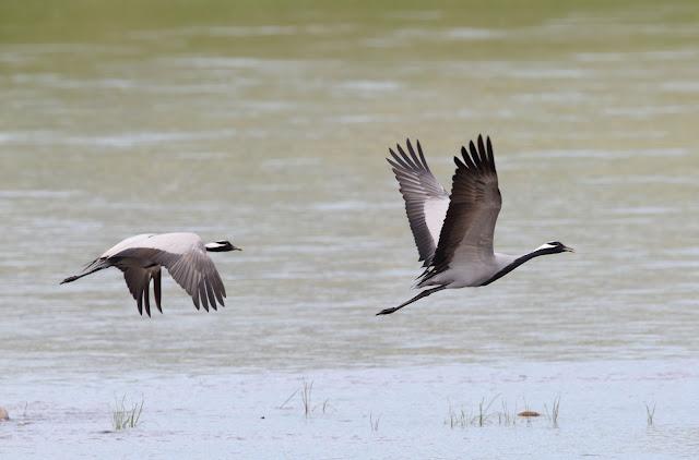 Demoiselle cranes in Mongolia