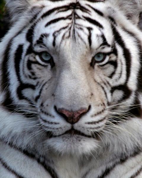 Siberian White Tiger