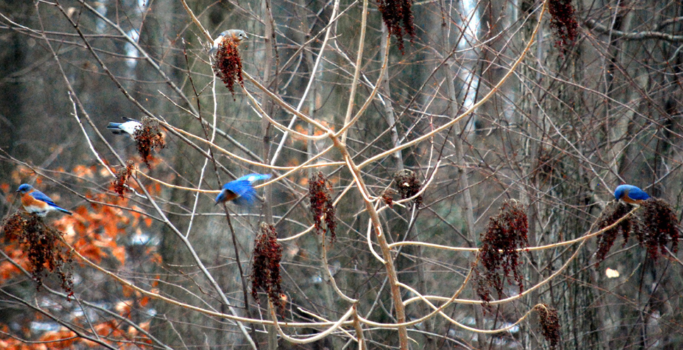 bluebirds in Pennsylvania