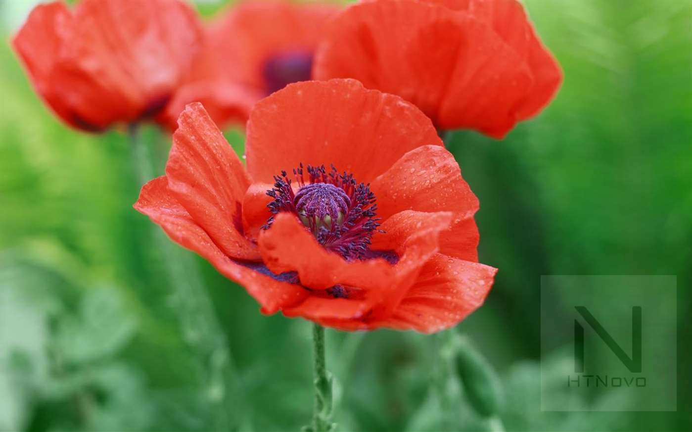 Download-Field-of-Poppies