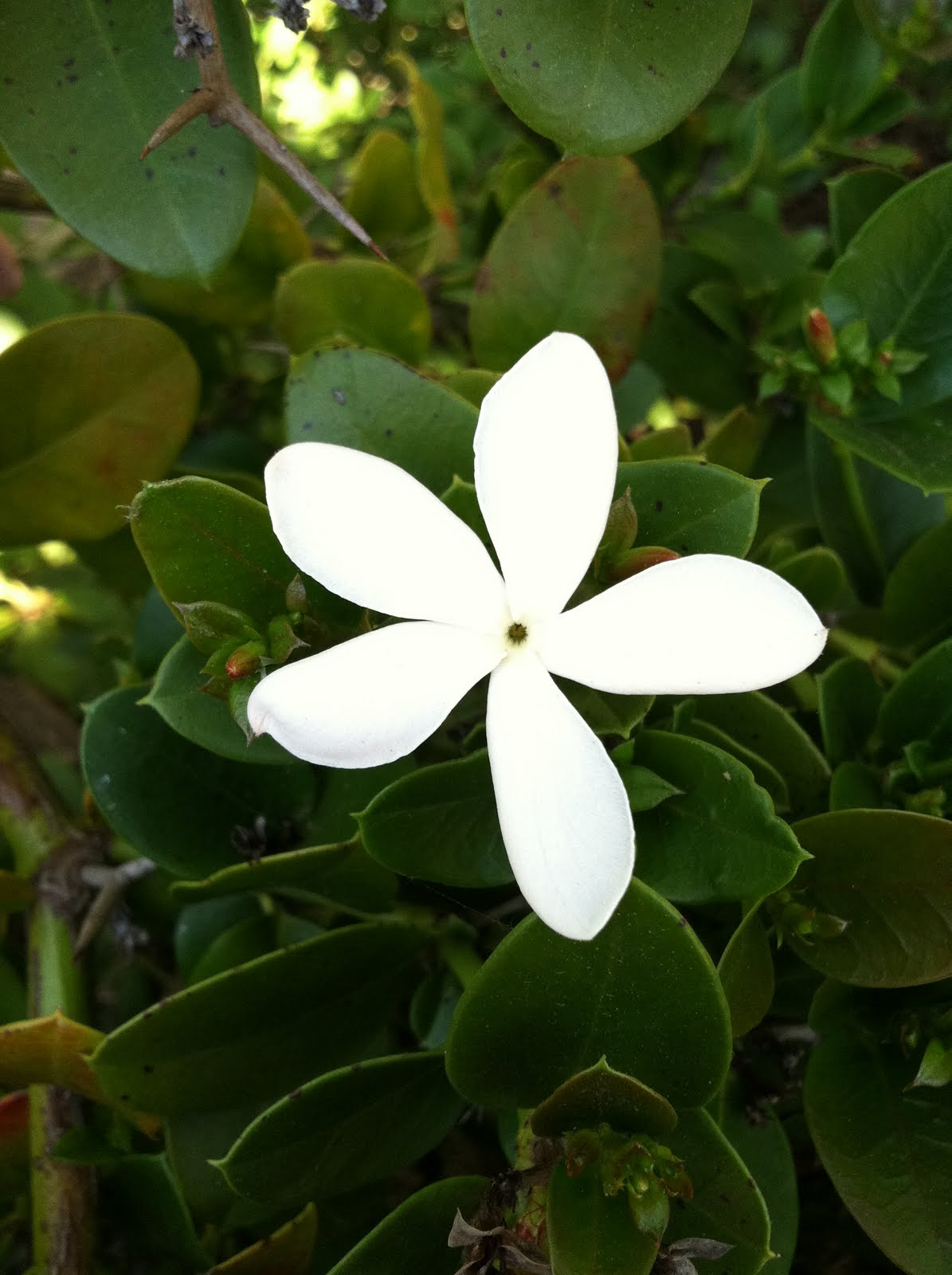 Sweet Smelling White Flower Tyres2c