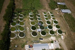 Asesor a trucha y tilapia estanques for Cria de mojarra roja en estanques