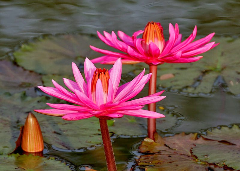 Makna Filosofi Bunga Teratai Dan Bunga Lotus Filosopi Hidup