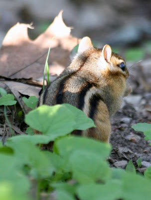 The chipmunk @ Hendrie Park, RBG, Burlington, ON :: All Pretty Things