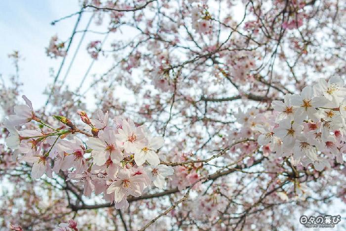 fleurs de sakura, gare Ryoan-ji, Kyoto